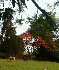 vacas no pasto com flamboyant