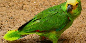 O papagaio que imitava galinha e disparou um palavrão